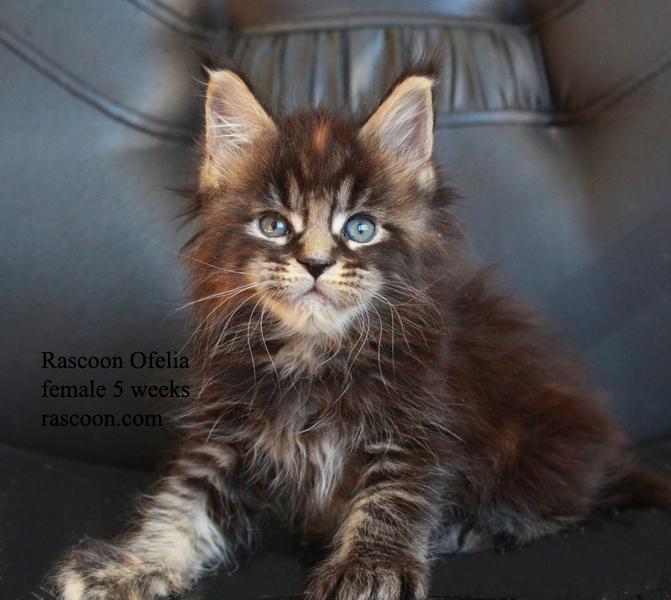 Rascoon Ofelia female 5 weeks