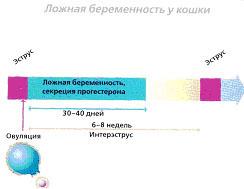 Рис.8. Ложная беременность у кошек