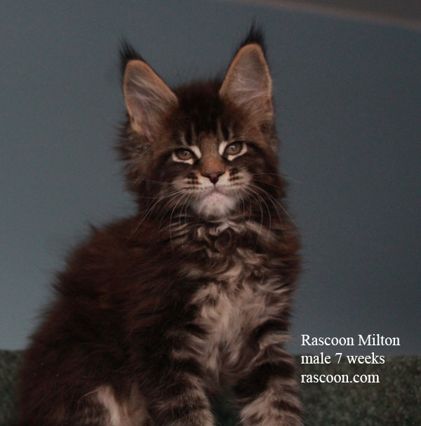 Rascoon Milton male 7 weeks