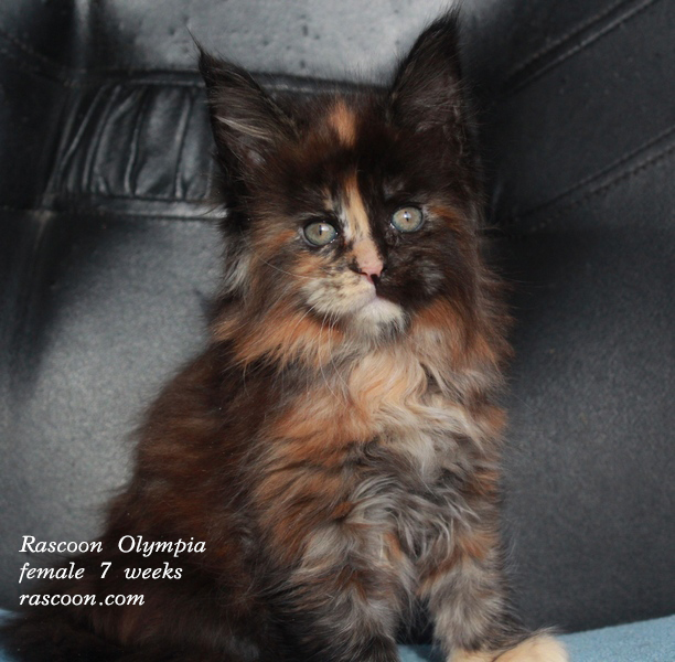 Rascoon Olympia female 7 weeks