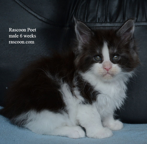 Rascoon Poet male 6 weeks