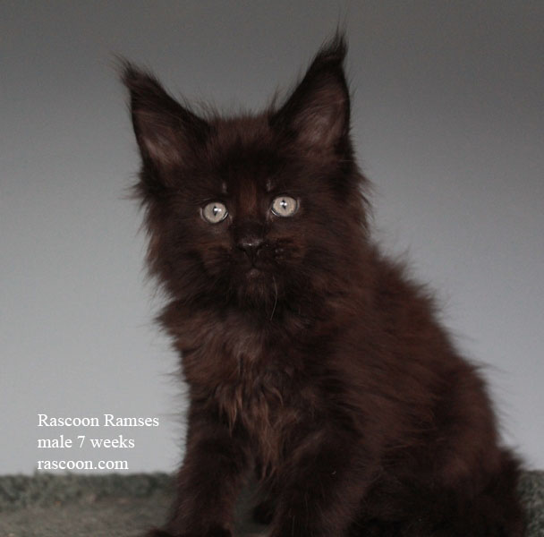 Rascoon Ramses male 7 weeks