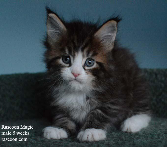 Rascoon Magic male 5 weeks