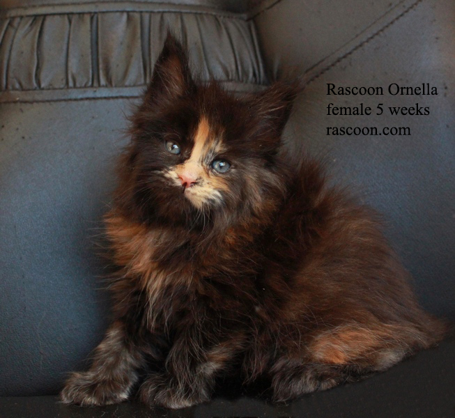 Rascoon Ornella female 5 weeks