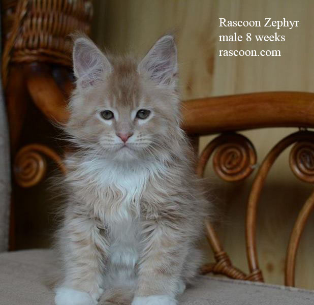 Rascoon Zephyr 8 weeks