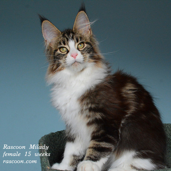 Rascoon Milady female 15 weeks