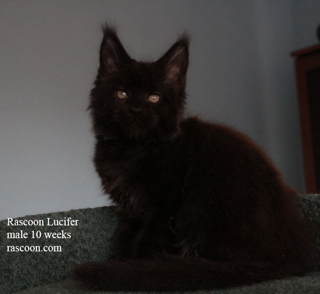 Rascoon Lucifer male 10 weeks