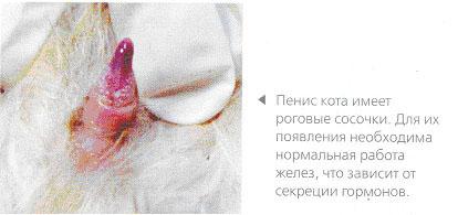 Рис.3. Пенис кота
