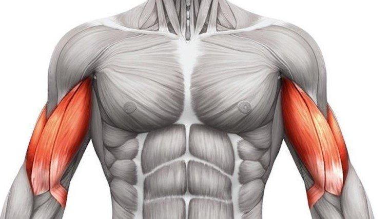 ¿Para qué sirve el bíceps? Cómo fortalecer y estirar.