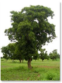 Karitébaum