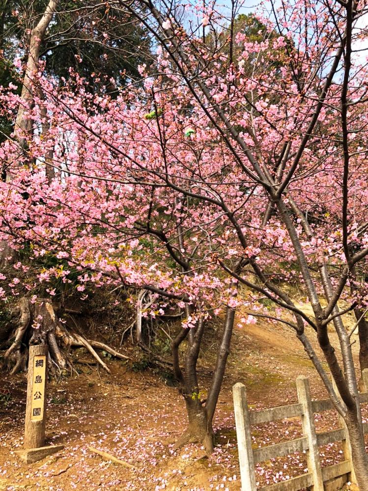 こちらは綱島公園の河津桜