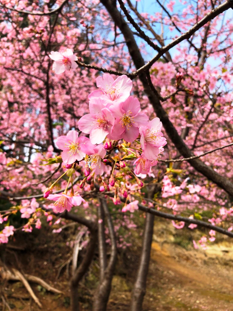 綱島公園の河津桜2
