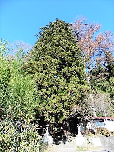 佐奈神社の大杉