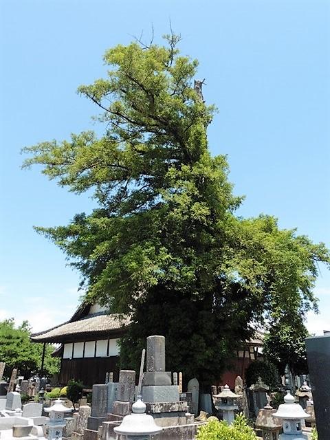 法林寺の大カヤ