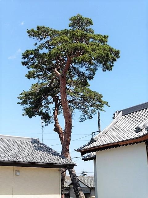川曲諏訪神社の松