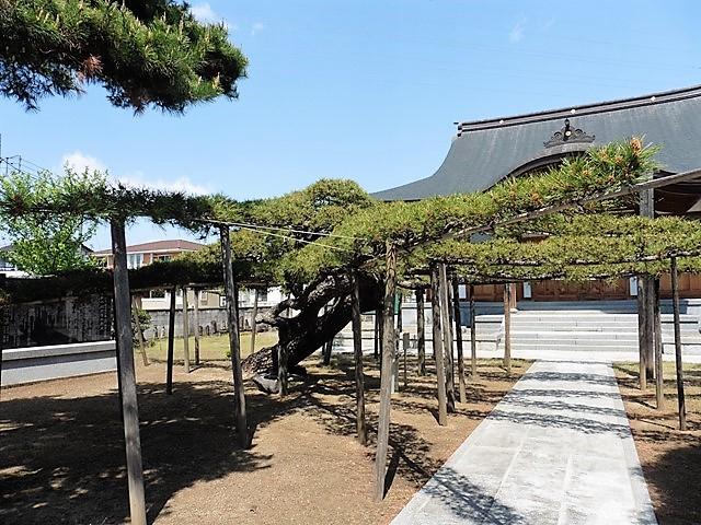 福徳寺の臥竜松(クロマツ)
