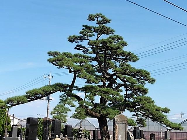 金蔵寺の松