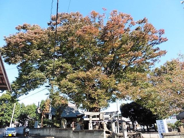 中村早尾神社の大ケヤキ