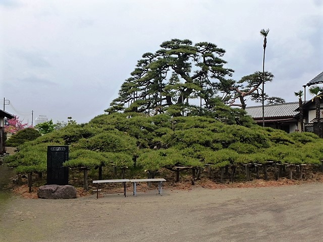 萩原の大笠松