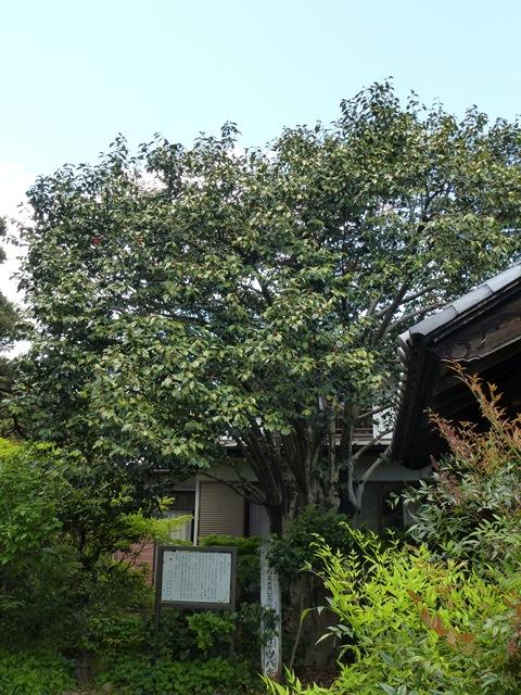 西廣寺の椿