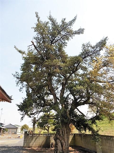 宝生寺のラカンマキ