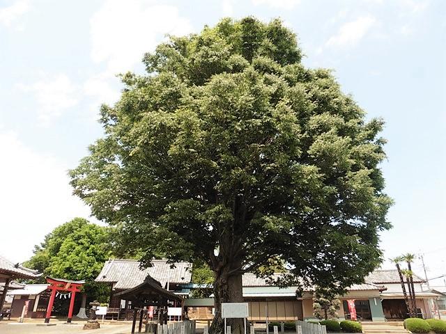小泉神社の大ケヤキ