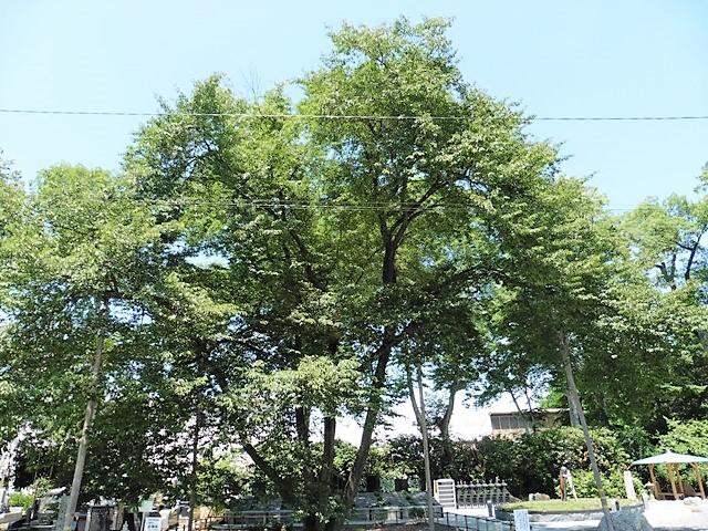 仁叟寺の五輪桜(コヒガンサクラ)