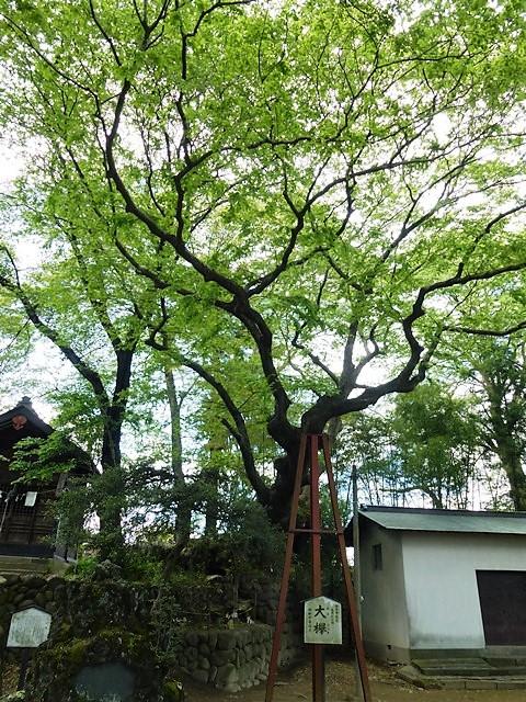 安中熊野神社の大ケヤキ
