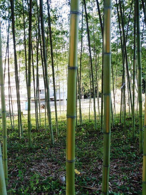 上の森八幡宮の金明竹