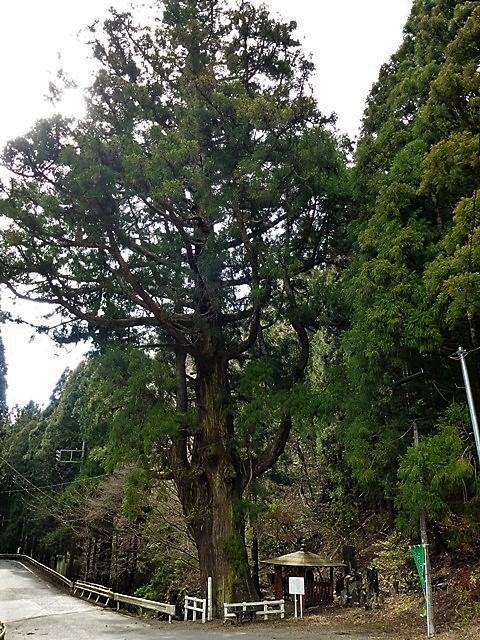 みどり市・小平の大杉
