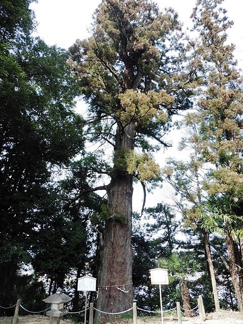 宮崎神社の大杉
