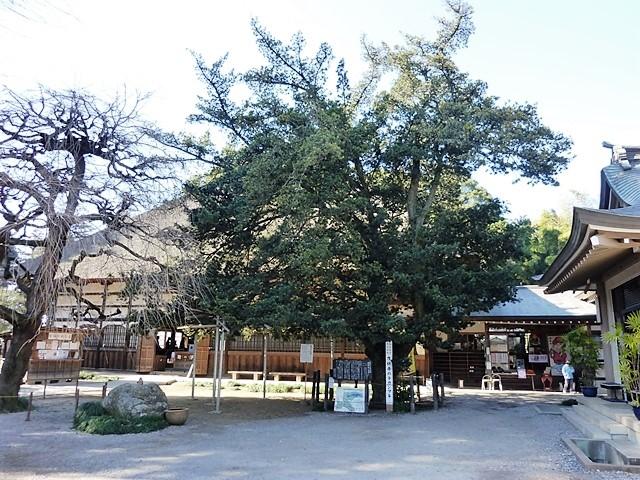 茂林寺のラカンマキ