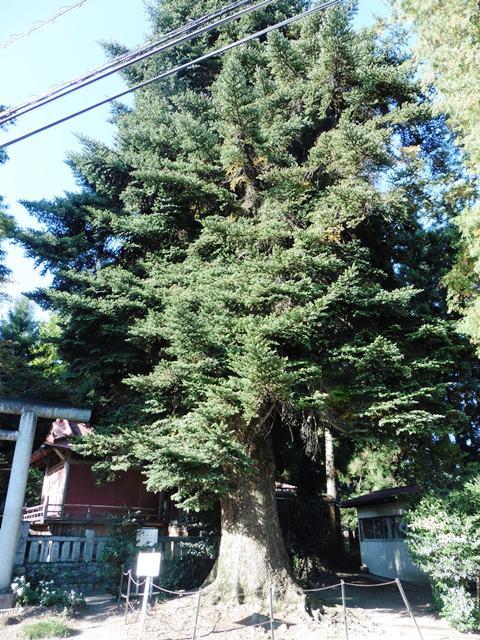 黒髪山神社のモミの木