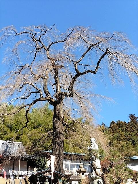 龍松寺のしだれ桜