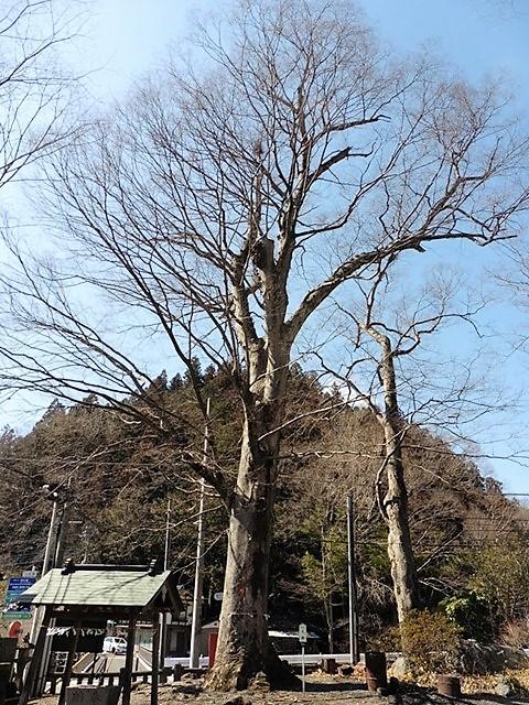 万場八幡宮の大ケヤキ