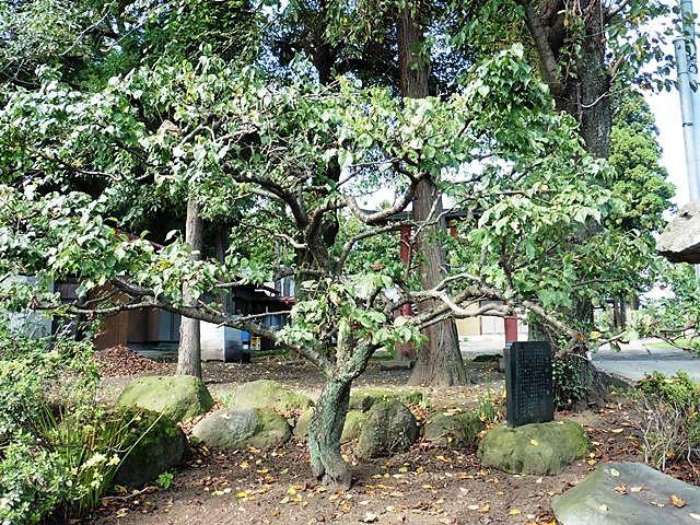 武田勝頼のさかさ梅(村主神社)