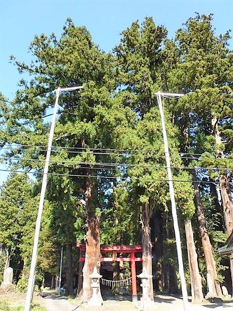 三島鳥頭神社の大杉
