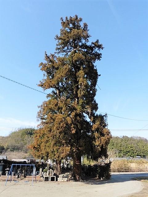 若宮八幡神社の大杉
