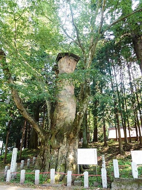 親都神社の大ケヤキ