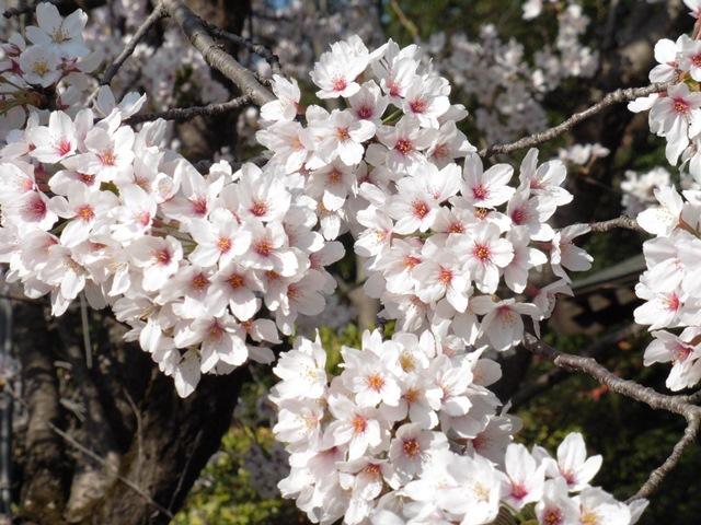 桜(神楽寺)