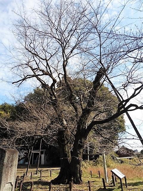 篠塚長柄神社のエドヒガン