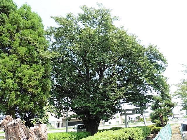 井野神社の大銀杏