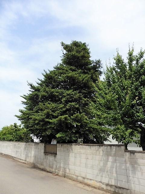上植木のサカキ(伊勢崎市)