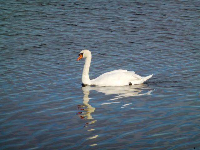 白鳥(多々良沼)