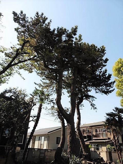 朝倉飯玉神社の松
