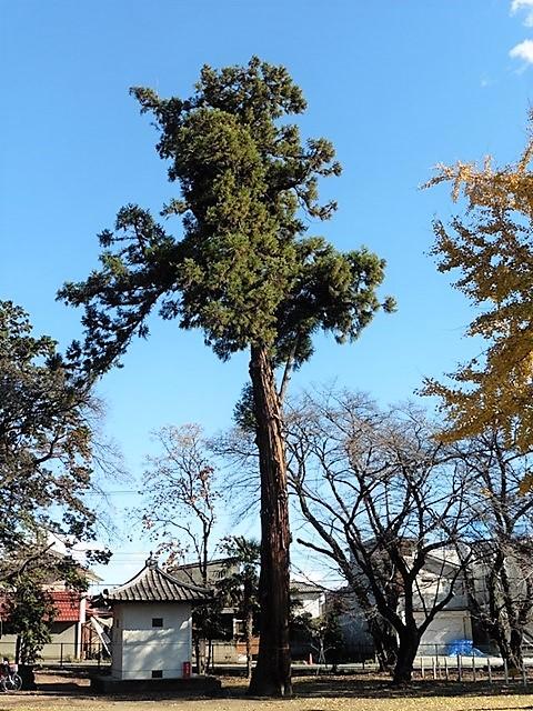 旧勧学院観音寺の大杉