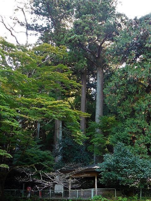 箱島湧水の大杉