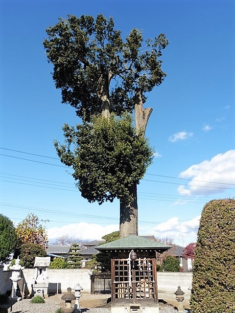 金剛寺の樫の木