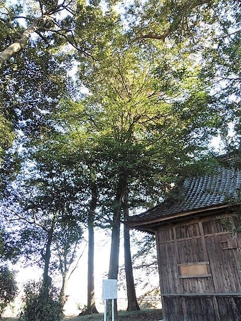 御巡部神社のサカキ