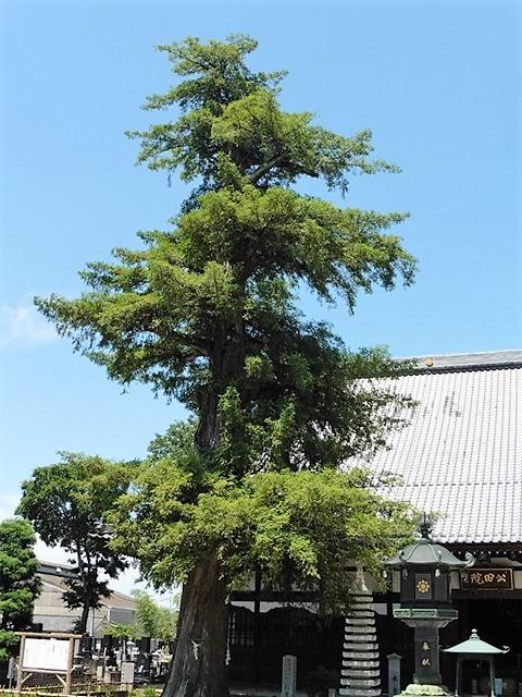 仁叟寺の大カヤ